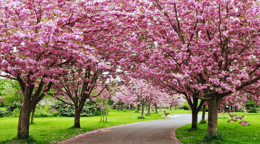 Cherry Blossom, Shillong