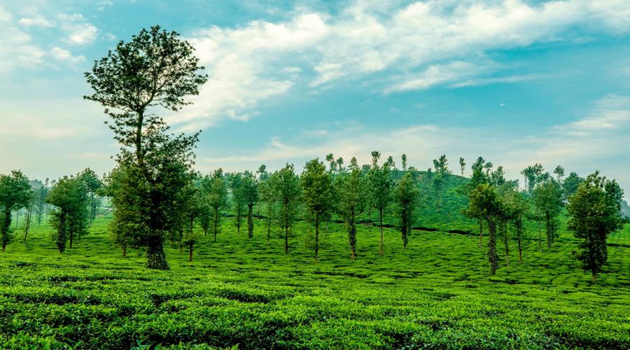 Tea Garden, Wayanad, Kerala