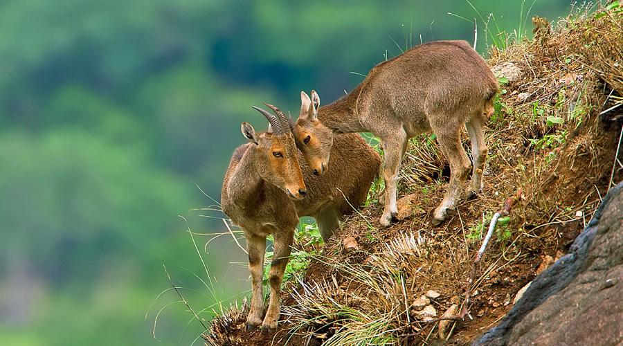 Eravikulam National Park, Munnar, Kerala