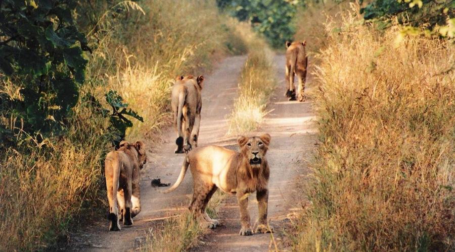 Gir National Park, Sasan Gir, Gujarat, India