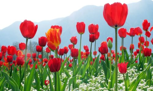 Indira Gandhi Memorial Tulip Garden, Srinagar, Jammu and Kashmir, India