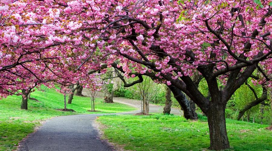 Cherry-Blossom,-Shillong, Meghalaya, North East, India